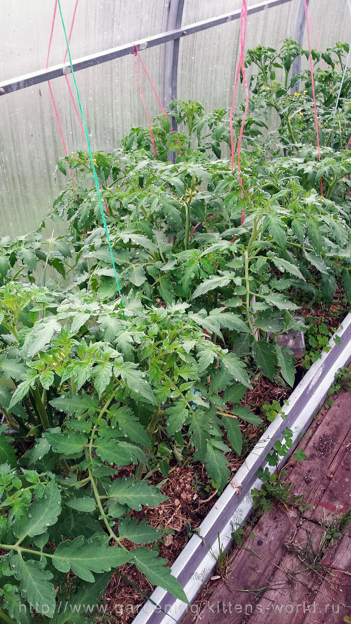 Посадка томатов весной, сравнение и выводы - томаты слева