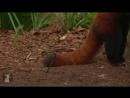 Bindi Robert Irwin feature - Red Pandas Yoddah and Pasang - Growing Up Wild