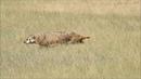 American Badger Hunting Prairie Dogs - Northern Colorado
