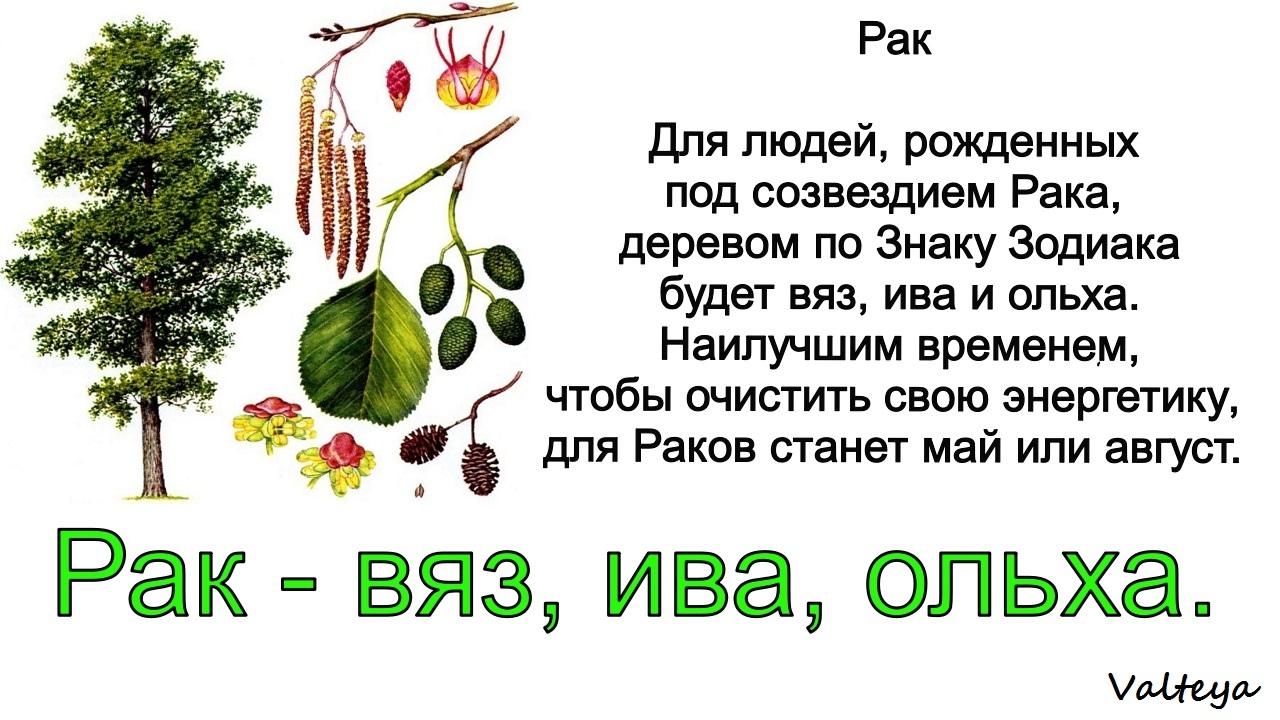 зодиак - Деревья по Зодиаку / Гороскоп друидов. HncLj2rAJhY