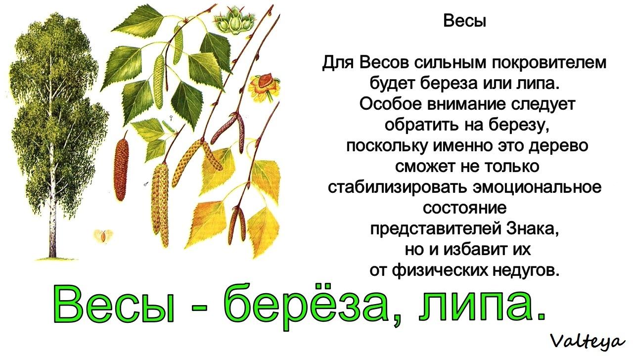 зодиак - Деревья по Зодиаку / Гороскоп друидов. LUJM5aMzrn8