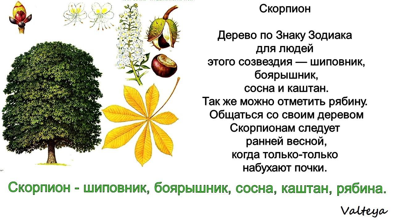 зодиак - Деревья по Зодиаку / Гороскоп друидов. Pn-IagN8sO0