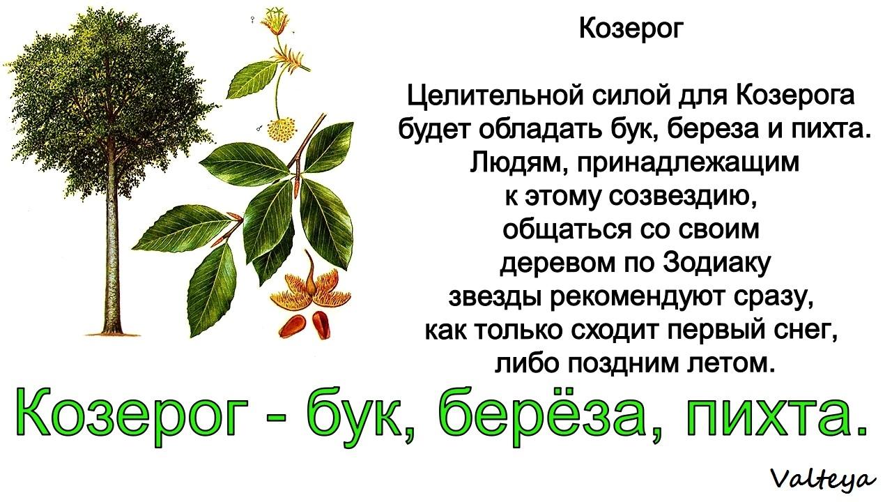 зодиак - Деревья по Зодиаку / Гороскоп друидов. VASNX4HZHWk