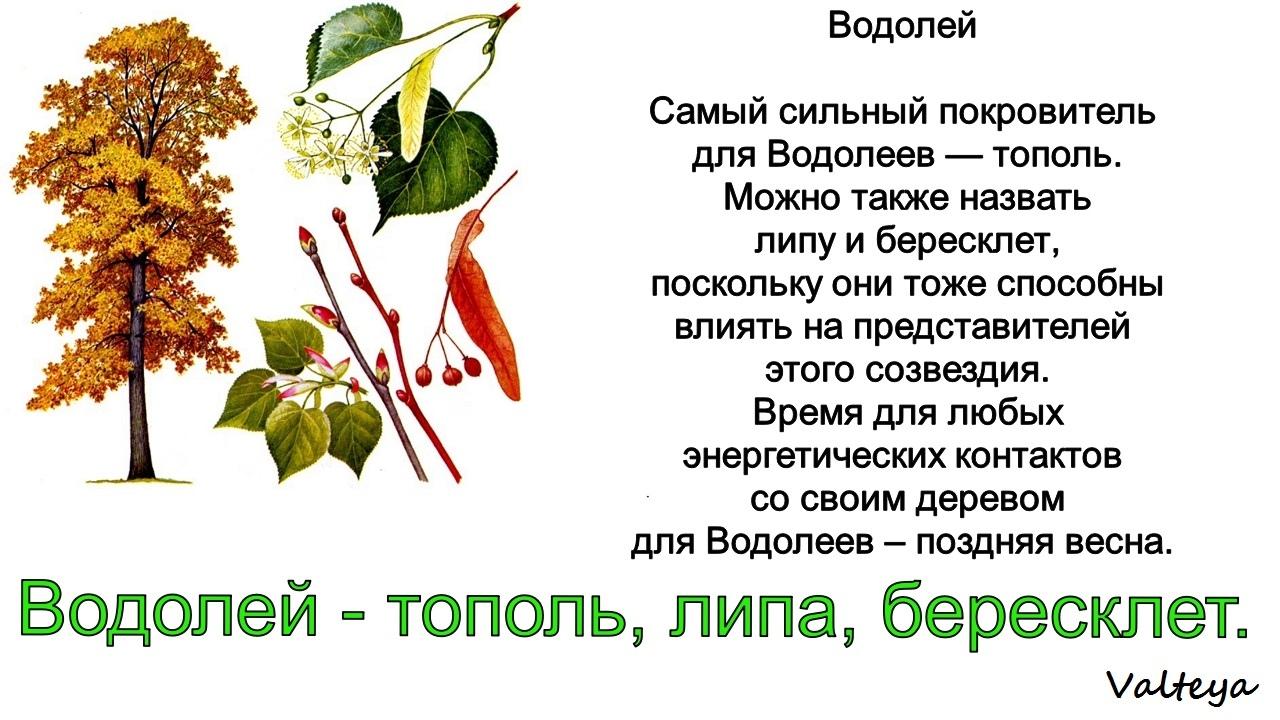 зодиак - Деревья по Зодиаку / Гороскоп друидов. Ol6laxfi9ME