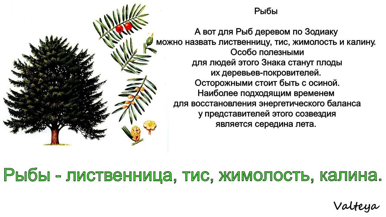 зодиак - Деревья по Зодиаку / Гороскоп друидов. 3LsdxmYDCTY