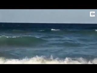 摄像头拍下虎鲨扑到岸上享用死鲸鱼尸体的情景