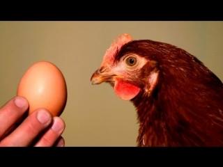 Польза и вред от куриных яиц