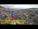 Хуже саранчи! Пеньки вместо тайги или как Китай вырубает леса Сибири