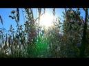Природа звуки поля пение птиц цикады ветерок летний день травы ромашки релакс медитация
