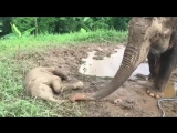 Mother elephant uses her trunk to gently check if her napping son is breathing