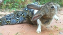 Real Anaconda Stalks Cute Rabbit - Brave Man And Boy Rescue Lovely Rabbit From Anaconda Attacks