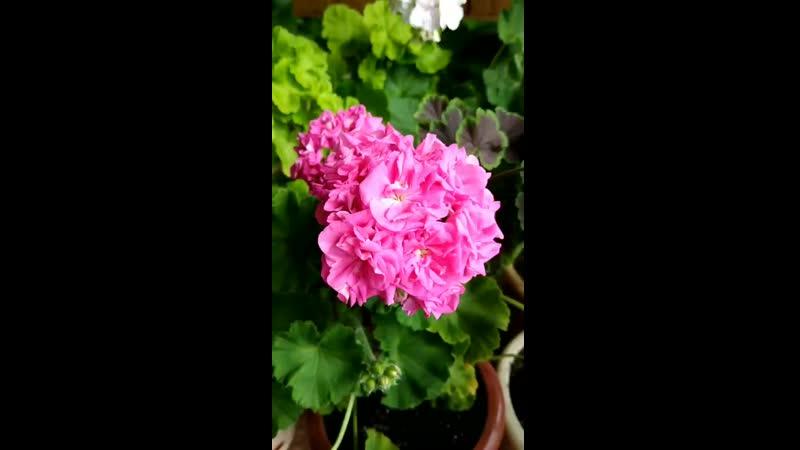 Цветение пеларгоний июнь