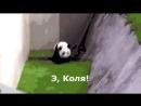 Пьяная панда с комментами прикол