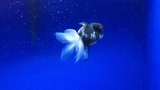 Rare Tri-Color Panda Oranda Live Fancy Goldfish Size 5'' 00160 For Sale
