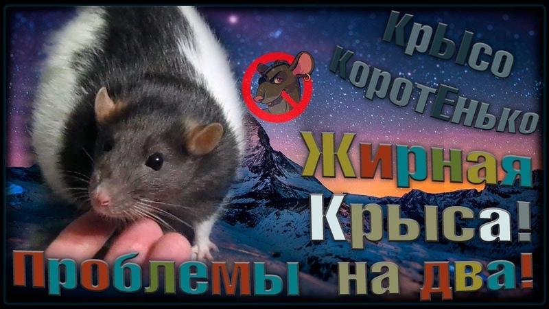 О Жирная крыса и проблемы с течкой Плюс две головных боли Fancy Rats Декоративные Крысы