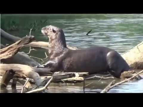 Огромная выдра испугала и прогнала двух голодных ягуаров