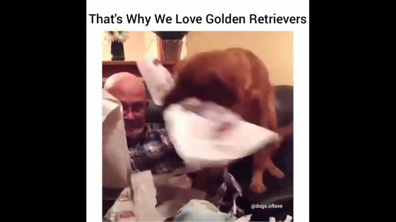 Позитивчик для тех кто обожает золотых ретриверов Правда они милашки 🤗😚😇