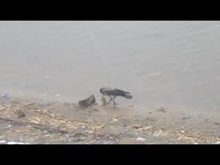 Чокнутая ворона в Братеево