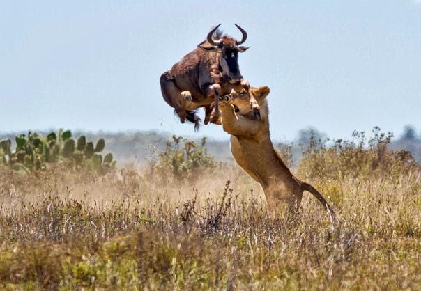 Антилопа спасается от цепких лап львицы в двухметровом прыжке (Заповедник Кариега, Южная Африка