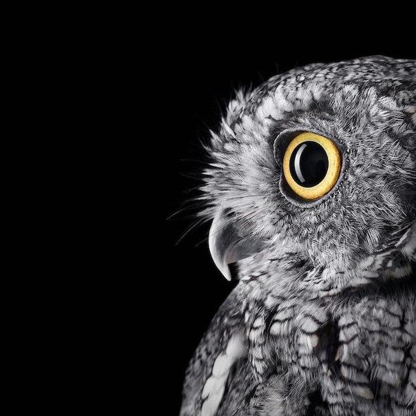 Величественные и благородные В этой потрясающей серии Брэда Уилсона портреты разных видов сов. Каждая птица на контрастном черном фоне, и блестящий ракурс позволяет нам восхищаться их уникальным