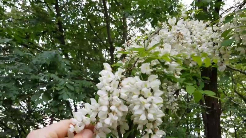Прогулка к цветущей акации в экопоселении