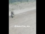 На окраине Нерюнгри медведь бросился на человека.