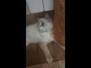 найден кот в Цимлянске Разыскиваются хозяева