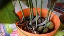 Авокадо из косточки Выращивание авокадо в домашних условиях