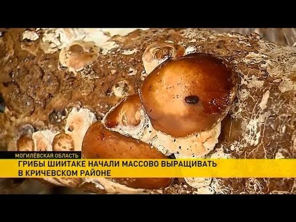 Грибы шиитаке начали выращивать в Кричеве