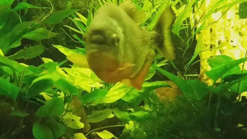 Пираньи в Дом аквариуме