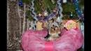 Как празднуют собаки Новый год и Рождество? Супер-мини йоркширский терьер видео 2019 года