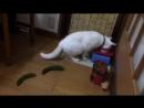 Огурец нападает на Кошек и Котов