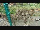 Зоопарк 4 гепарды