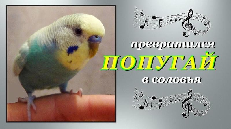 Попугай превратился в соловья