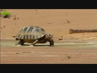 Варан и черепахи