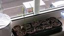 Ingwer selber pflanzen von der Knolle bis zum 2 Meter Strauch.
