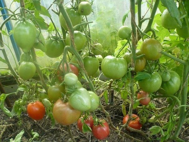 Рецепты подкормки помидор в открытом грунте: