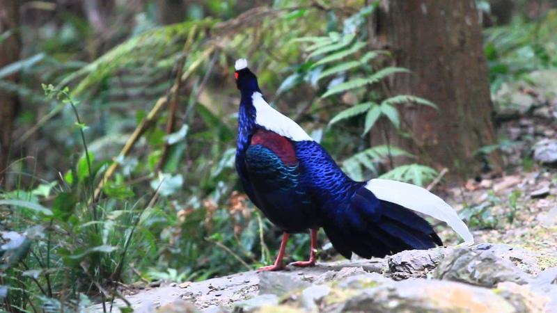 Тайваньский фазан Swinhoe's Pheasant Lophura swinhoii