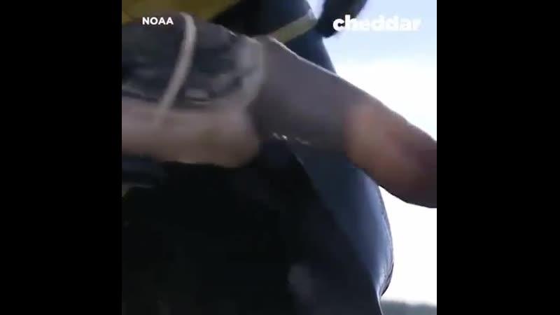 Так добывают Непристойный моллюск Гуидак