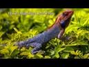 Primitive Man Show How To Make Huge Lizard Trap - Beautiful Nature