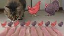 Cat Bird Battle - Chicken vs Turkey