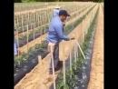 Быстрая подвязка помидор