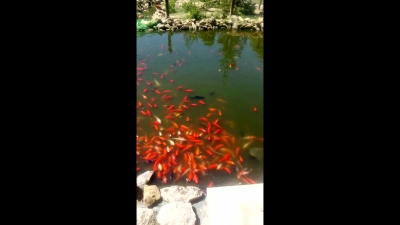 рибки кольорові