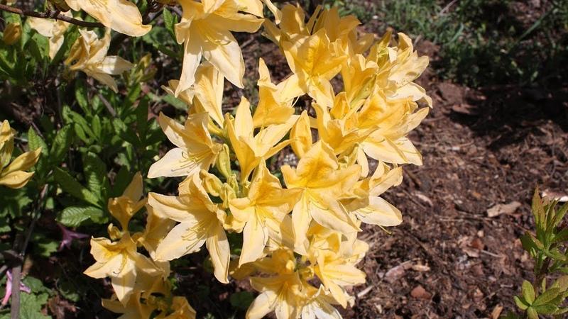 Кустарники, которые цветут в мае Зимостойкие Азалии рододендроны