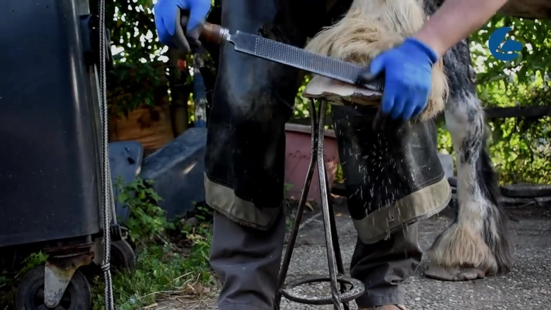 Beautiful Cold blood horse - Amazing shoeing helps lame horse with hoof crack - Hornspalt (1)