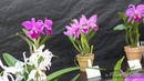 Выставка орхидей 姫路市手柄山温室植物園。カトレア原種展