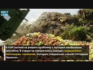В Китае выращивают миллиарды тараканов для переработки мусора