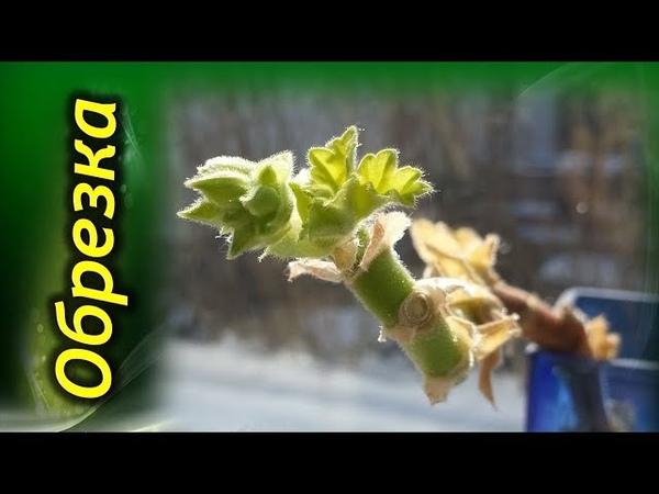Обрезка Герани Правила обрезки для пышного цветения