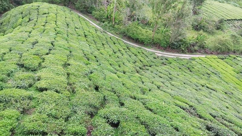 Южные чайные плантации BOH