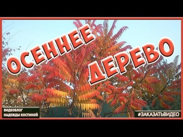 🍁 Футаж Осень 🍁 видеофон Красивое осеннее дерево 🍂 Желтые листья
